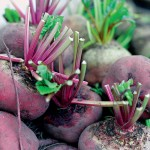 fresh beetroot with leaves cut off