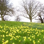 hill slope of daffodils and bare trees