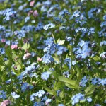 blue and pink forget-me-nots