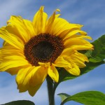 large sunflower against blue sky