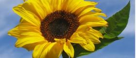 large sunflower against blue sky