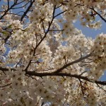 white spring blossom against blue sky