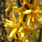 close up of yellow forsythia flowers