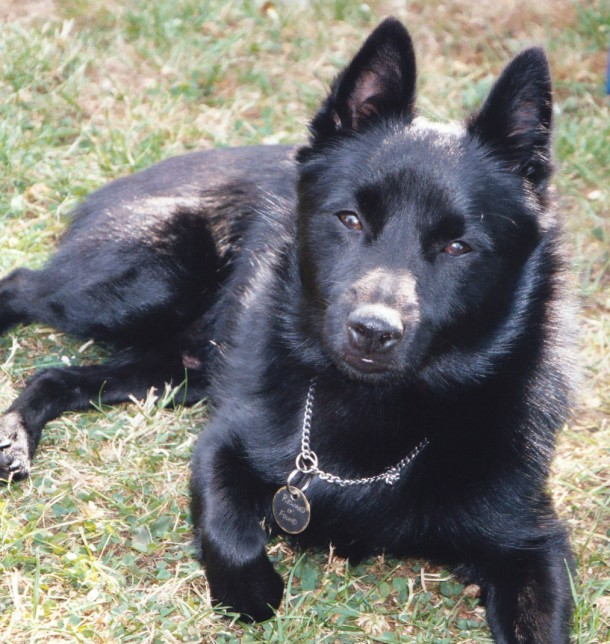 black schipperke dog called claude