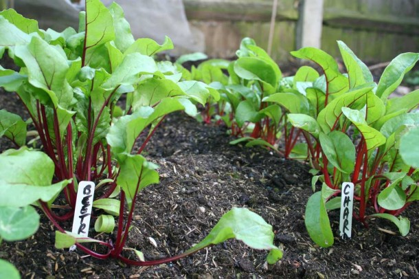 beetroot and chard seedlings in rows