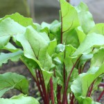 young beetroot leaves up close