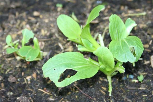 pak choi seedlings eaten by slugs and snails
