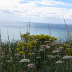 wildflowers growing on clifftop