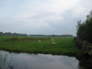 sheep grazing in field outside Delft