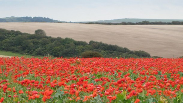 poppies in a field along the South Downs Way