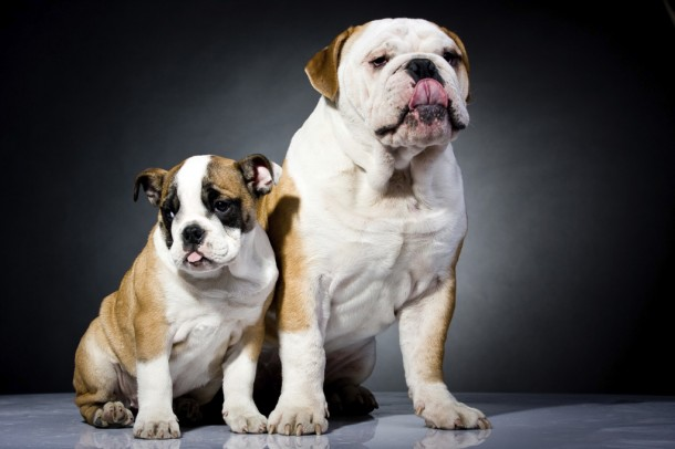 two bulldogs, one large, one small