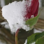 Pink rosebud covered in snow in my front garden