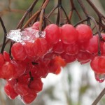 Frozen berries thawing out