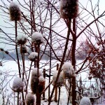 Spikey snow-covered seedheads