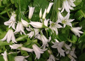 wild garlic flowers in salad