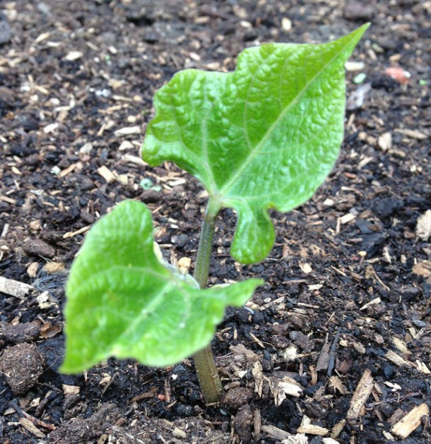 french bean seedling