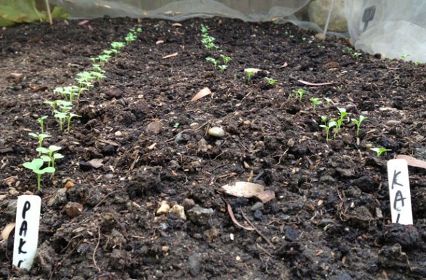 pak choi and kale seedlings