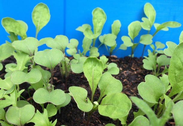 rocket seedlings