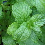 Close-up of fresh mint leaves