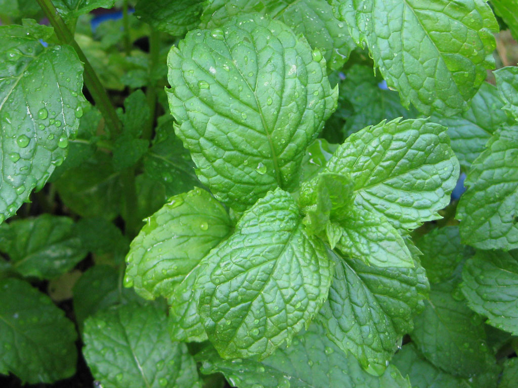 Fresh Mint Tea and Other Mint Delights - Write Health
