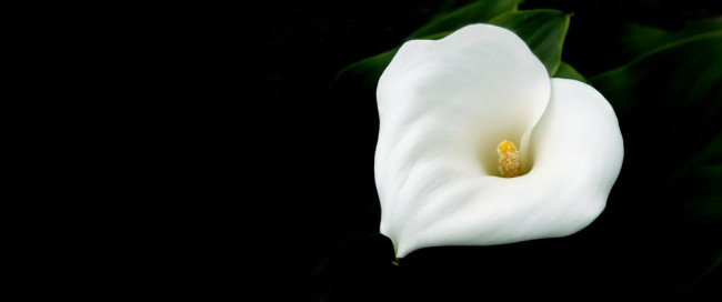 white lily against a black background, symbolising death, grief and mourning
