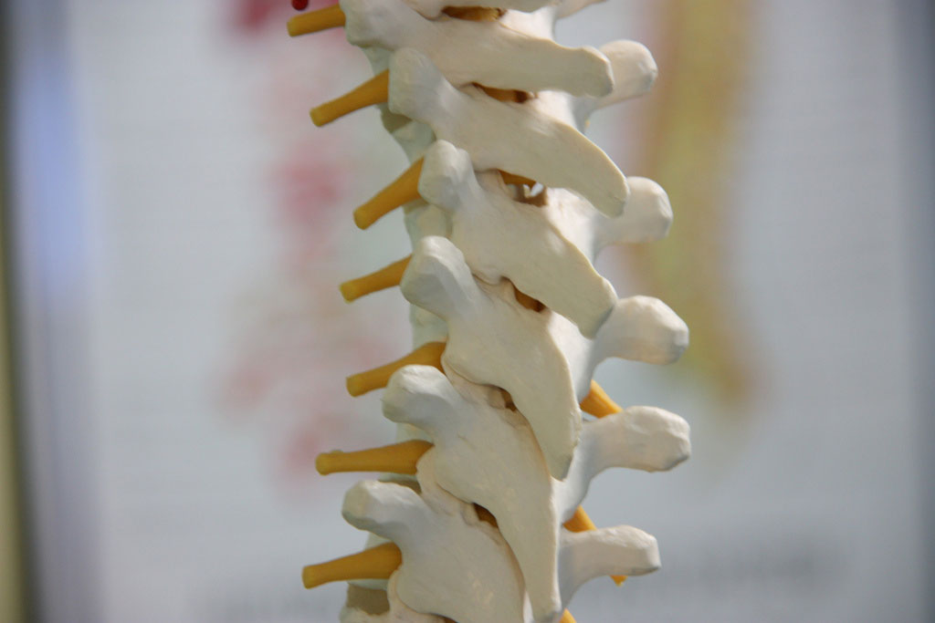 Close up of a reproduction of a human spine to illustrate Rolfing